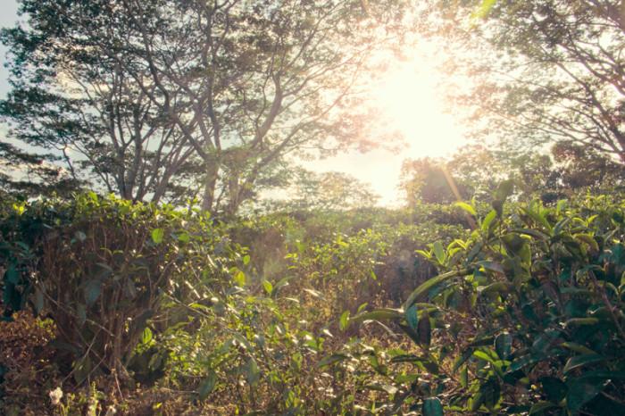 Srí Lanka. Čajová plantáž.