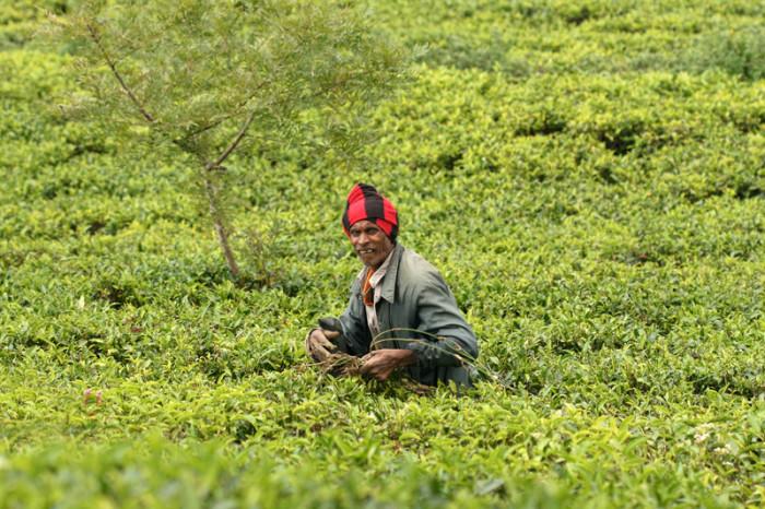 Boh čaju. Srí Lanka