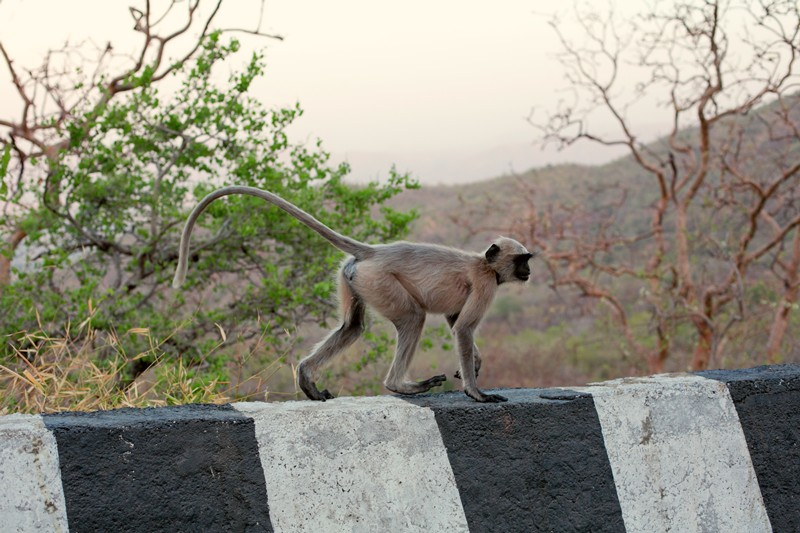 Abu Road, opice, rajastan, India
