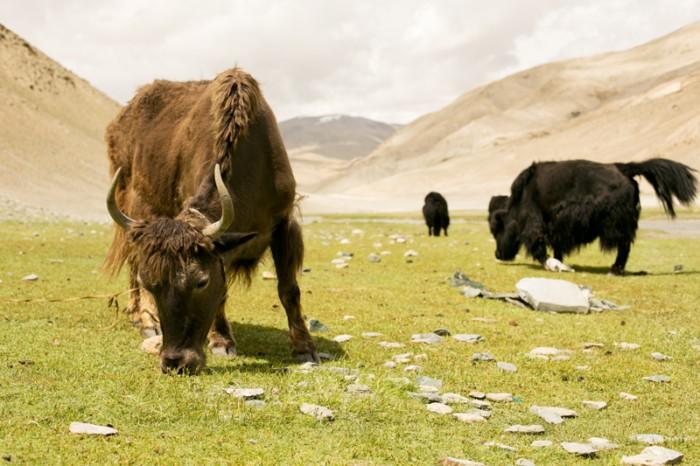 Dzo a yak - zvieratá Ladakhu