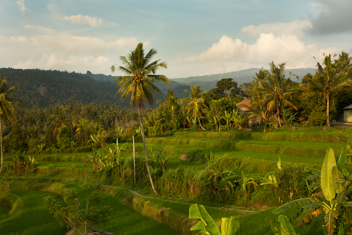 Ryžové polia na Bali v Indonézii