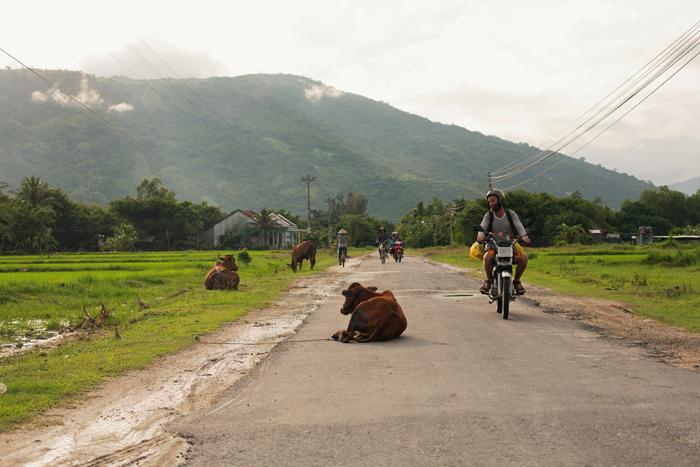 Dedinská cesta vo Vietname cestou na motorke s kravami a ryžovými políčkami